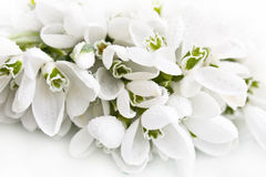 Snowdrop with drop of water Stock Photos