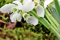 Snowdrop with drops of dew on a green moss Stock Images