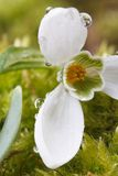 Snowdrop with drops of water macro. Vertical Royalty Free Stock Photography