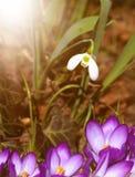 Snowdrop e açafrão Foto de Stock Royalty Free