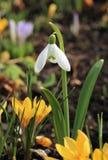 Snowdrop e açafrões amarelos Fotografia de Stock