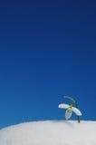 Snowdrop e cielo blu Fotografia Stock Libera da Diritti