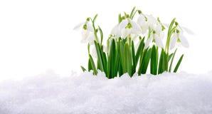Snowdrop e neve Immagine Stock Libera da Diritti