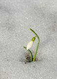 Snowdrop e neve Fotos de Stock Royalty Free