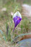 Snowdrop e o açafrão florescem com dof raso do campo no springti Foto de Stock Royalty Free