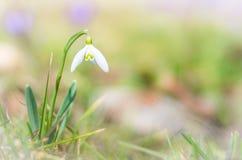 Snowdrop e o açafrão florescem com dof raso do campo no springti Fotografia de Stock
