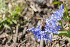 Snowdrop e uma abelha Fotografia de Stock