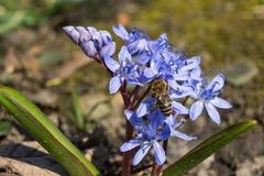 Snowdrop e uma abelha Imagem de Stock