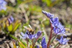 Snowdrop e uma abelha Fotografia de Stock Royalty Free