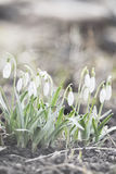 Snowdrop. The earliest spring flowers. Snowdrops. Sweethearted nature Stock Photo