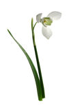 Snowdrop, easter flower white Stock Photo