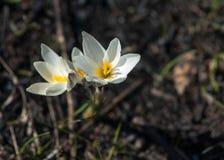 Snowdrop eine weit angebaute knollenförmige europäische Anlage, die trägt, weiße Blumen während des Spätwinters zu sinken lizenzfreie stockfotos