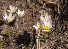 Snowdrop eine weit angebaute knollenförmige europäische Anlage, die trägt, weiße Blumen während des Spätwinters zu sinken stockfotografie