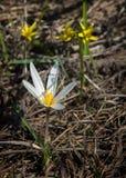 Snowdrop eine weit angebaute knollenförmige europäische Anlage, die trägt, weiße Blumen während des Spätwinters zu sinken lizenzfreie stockbilder