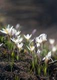 Snowdrop eine weit angebaute knollenförmige europäische Anlage, die trägt, weiße Blumen während des Spätwinters zu sinken lizenzfreies stockbild