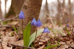 Snowdrop en el bosque de Voronezh Fotos de archivo libres de regalías
