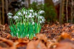 Snowdrop en los arbustos imagen de archivo
