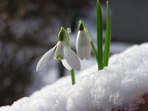 Snowdrop en nieve Fotografía de archivo libre de regalías