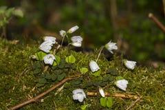 Snowdrop en piso del musgo Fotografía de archivo