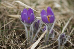 Snowdrop endangered tender first spring March flowers ,close-up. Snowdrop endangered tender first spring March flowers lilac blue pasque-flower, snowdrop Royalty Free Stock Images