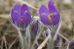 Snowdrop endangered tender first spring March flowers ,close-up. Snowdrop endangered tender first spring March flowers lilac blue pasque-flower, snowdrop Stock Photography