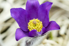 Snowdrop endangered tender first spring March flowers ,close-up. Snowdrop endangered tender first spring March flowers lilac blue pasque-flower, snowdrop Stock Photos