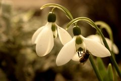 Snowdrop - the first breath of spring. stock image