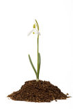 Snowdrop first messenger of spring in the soil Royalty Free Stock Images