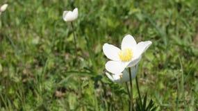 Snowdrop, flor blanca Imágenes de archivo libres de regalías