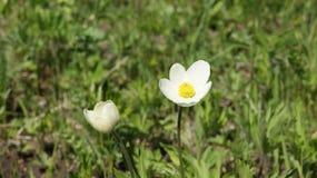 Snowdrop, flor blanca Fotos de archivo