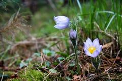 Snowdrop florece floreciendo en el bosque sus pétalos de la lila en dro Foto de archivo