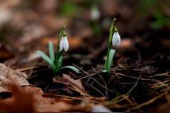 Snowdrop floresceu na floresta após o inverno imagem de stock