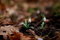 Snowdrop floresceu na floresta após o inverno fotografia de stock