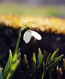 Snowdrop flower. Symbol of spring and hope Royalty Free Stock Image