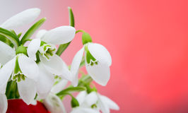 Snowdrop flower Royalty Free Stock Photos