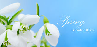 Snowdrop flower Stock Photo