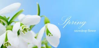Snowdrop flower. On blue background stock photo