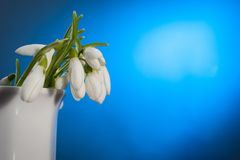 Snowdrop flower Stock Images