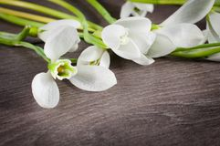 Snowdrop flower Royalty Free Stock Image