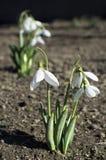 Snowdrop flower. Beautiful snowdrop flower at the garden Stock Image