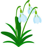 Snowdrop Flower Stock Photography