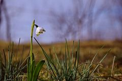 Snowdrop. Flower in beautiful nature Royalty Free Stock Image