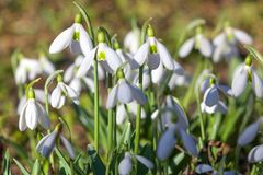 Snowdrop flower close up macro background. Galanthus Rivalis. First spring bud, group of flowers. Yellow green sunlight royalty free stock photo