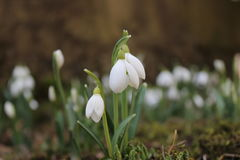 Snowdrop flower. A closeup of fresh snowdrops in early spring Royalty Free Stock Images