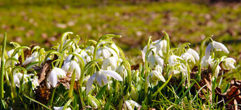 Snowdrop flower Stock Image