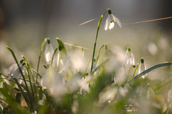 Snowdrop flower 2 Royalty Free Stock Images