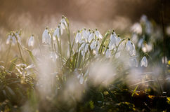 Snowdrop flower formation 1 Royalty Free Stock Images