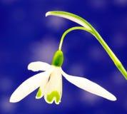 Snowdrop flower Stock Photo