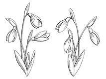 Snowdrop flower graphic black white isolated sketch illustration Stock Images