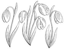 Snowdrop flower graphic black white isolated sketch set illustration vector. Snowdrop flower graphic black white isolated sketch set illustration Royalty Free Stock Images